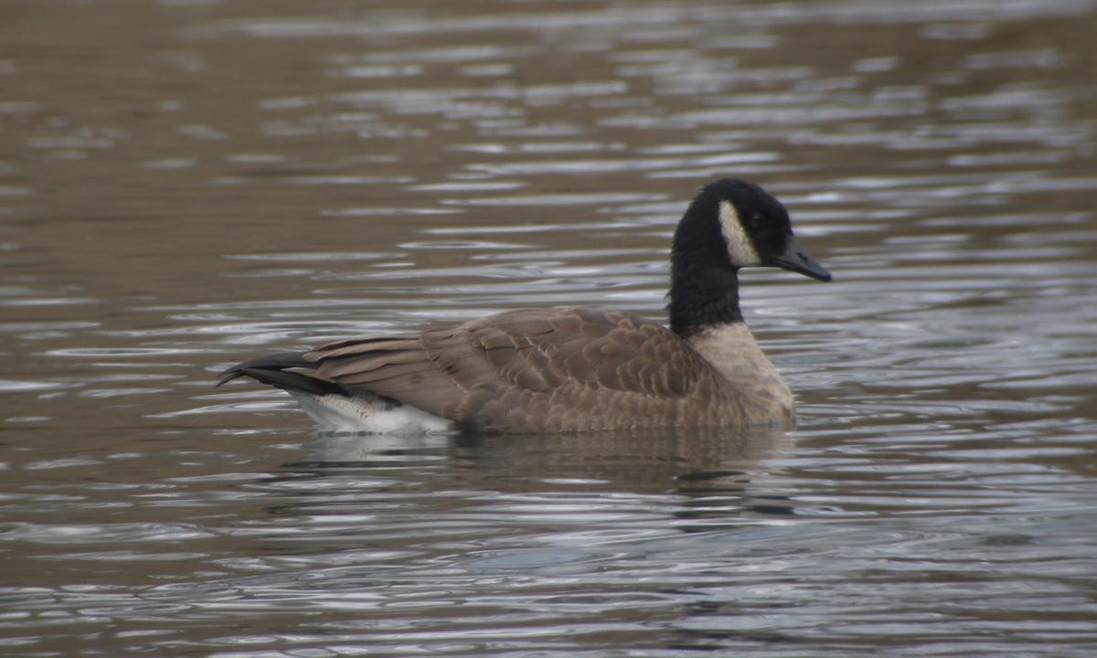 Canadian goose sex id