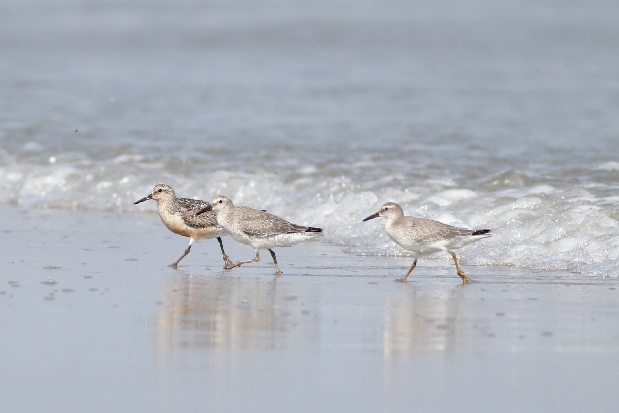 1 adult and 2 juvenile Red Knots on Stone Harbor Point (Photo by Alex Lamoreaux)