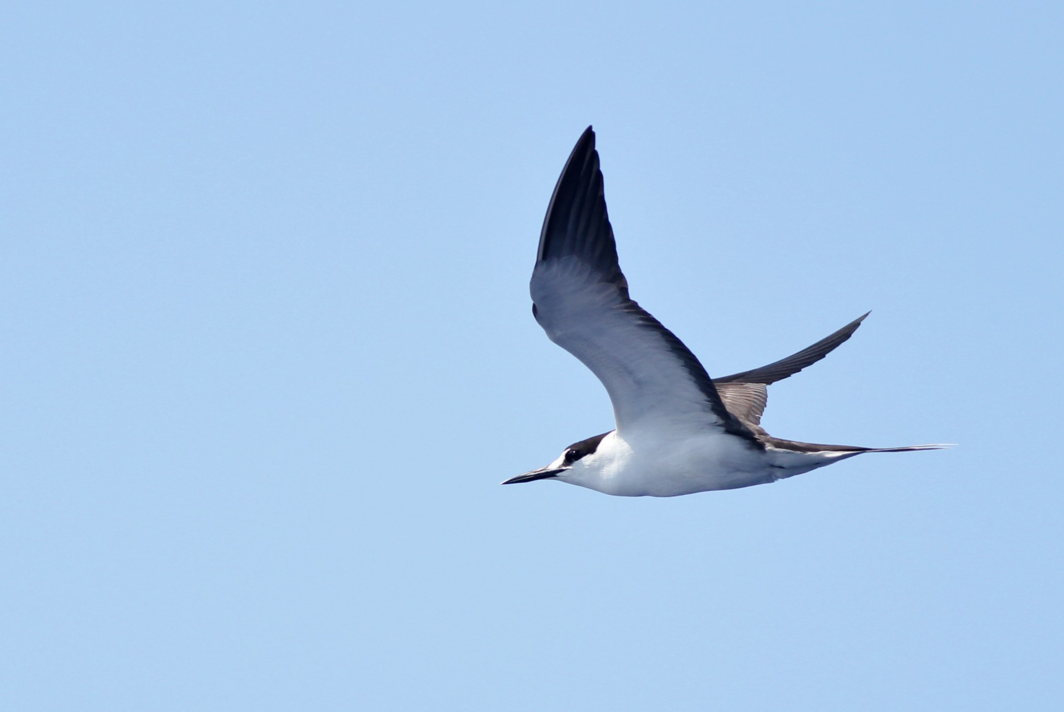 terns jaegers and gulls of the gulf stream by alex