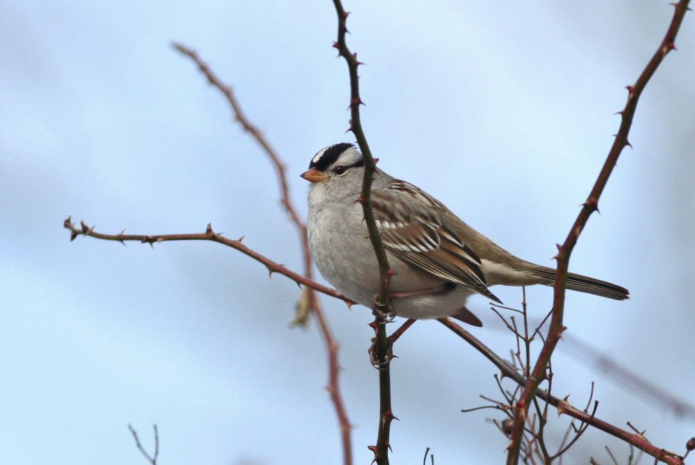 Gambel's White-crowned Sparrows in PA by Alex Lamoreaux ...