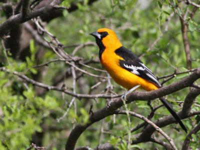 Experience Spring Migration in South Texas with Nemesis Bird Tours - April 16-24, 2016