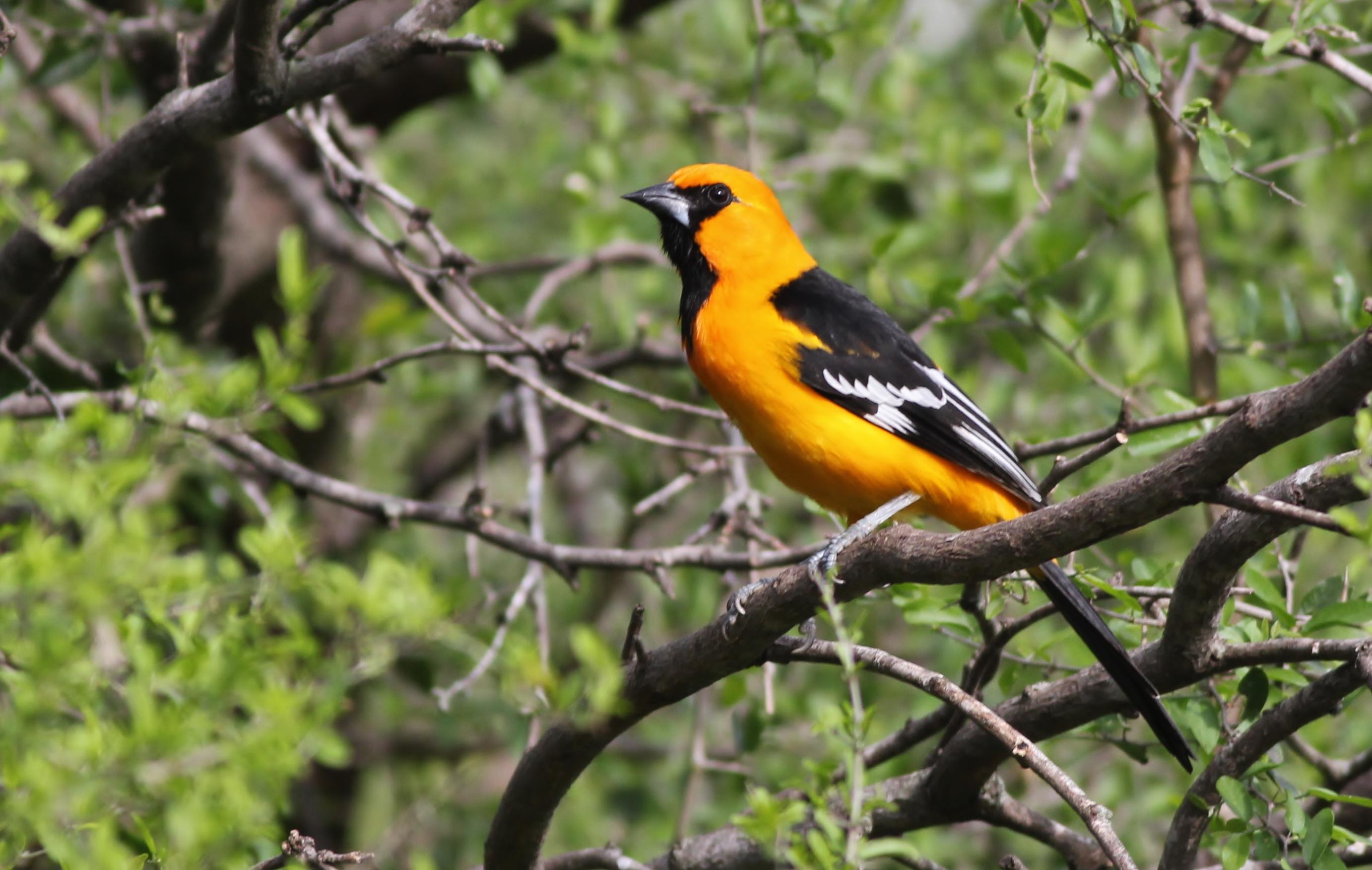 experience spring migration in south texas with nemesis bird tours rh nemesisbird com