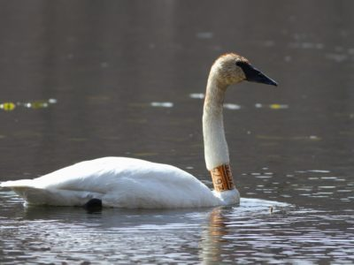 Trumpeter Swans with 'captive' neck-collars in PA