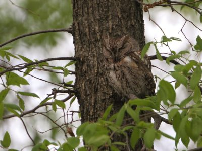 Screech-Owls at the Biggest Week