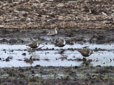 Unusual American Golden-Plover - McLean County, Illinois