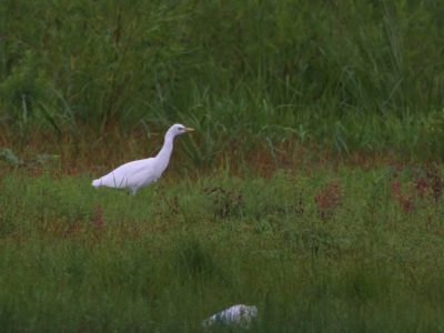 Cattle Egret - Lancaster County, PA
