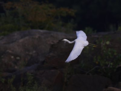 Snowy Egret in Lancaster County!