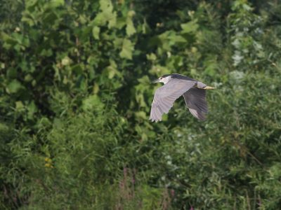 Susquehanna River Kayak-Birding Highlights