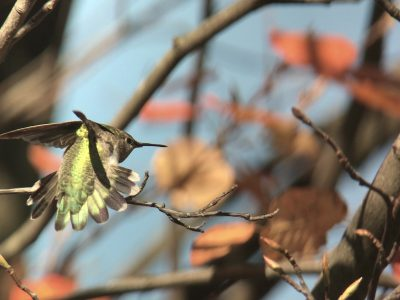 Video portrait: Pennsylvania's 2nd Anna's Hummingbird