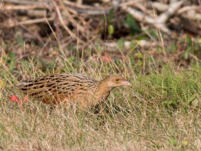 Recap of the Long Island Corn Crake